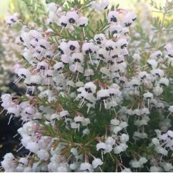 Bruyère de Noël - Erica canaliculata
