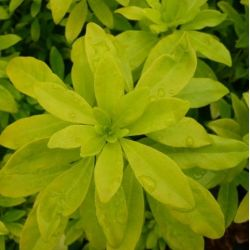 Oranger du Mexique doré - Choysia ternata Moonglow