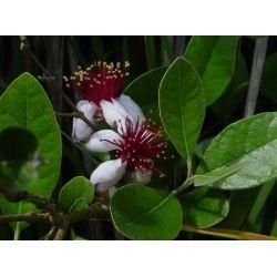 Feijoa selloviana