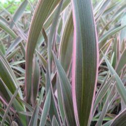 Phormium Pink Stripe - Lin de nouvelle zélande