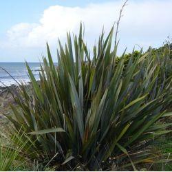 Phormium tenax - Lin de Nouvelle-Zélande.