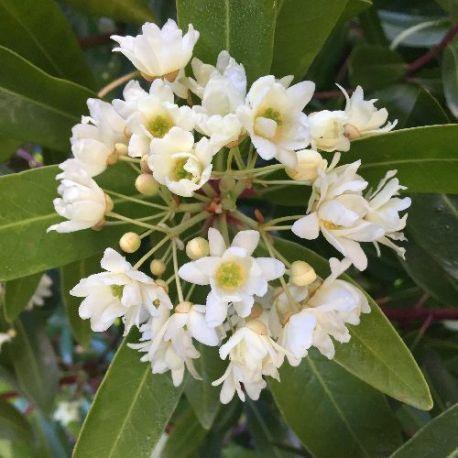 Drymis aromatica