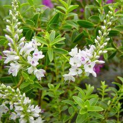 Véronique diosmifolia -Hebe diosmifolia