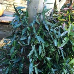 Jasmin étoilé Wilsonii - Trachelospermum jasminoides Wilsonii