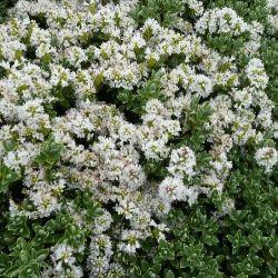 Véronique Sutherlandia - Hebe Pinguefolia Sutherlandia