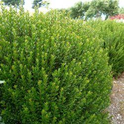 Myrte commune tarentina - Myrtus communis var tarentina