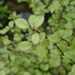 Pittosporum te. Green Elf - Pittospore Green Elf