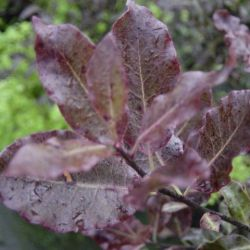 Pittosporum te. Purpureum - Pittospore Purpureum