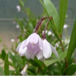 Sollya rose - Sollya heterophylla Rosea