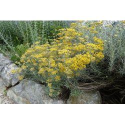 Helichrisum italicum