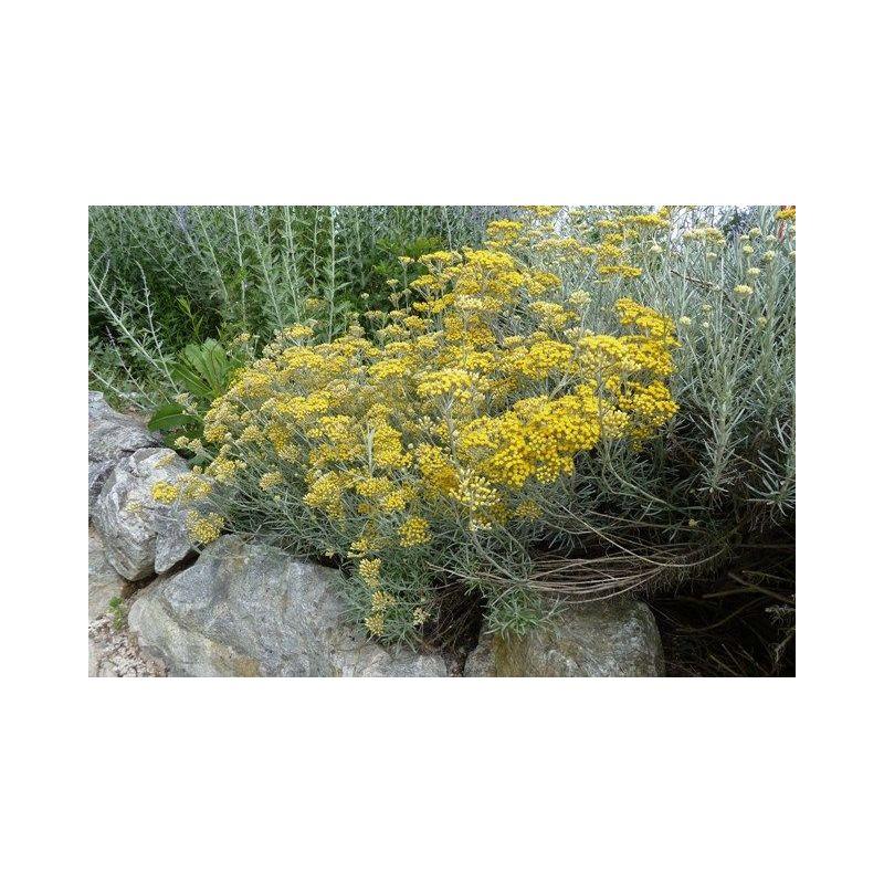 Helichrysum italicum - Plante curry