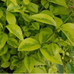 Troêne dorée de Californie - Ligustrum ovalifolium Aureum