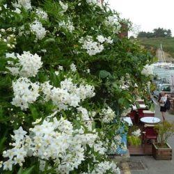 Solanum jasminoides Alba - Morelle faux jasmin