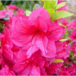 Azalée du japon Christina - Azalea japonica Christina