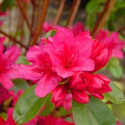Azalée du japon Hino Crimson - Azalea japonica Hino Crimson