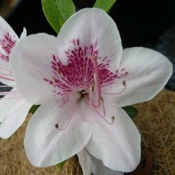 Azalée du japon Ho Oden- Azalea japonica Ho Oden