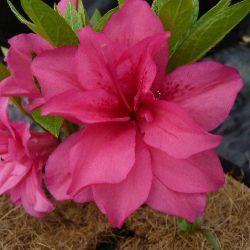 Azalée du japon Rosa King - Azalea japonica Rosa King