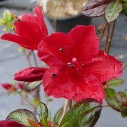 Azalée du japon Wards Ruby - Azalea japonica Wards Ruby
