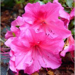 Azalée japonaise Vuyk's Rosy Red