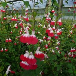 Sauge arbustive hot lips . Salvia microphylla Hot Lips