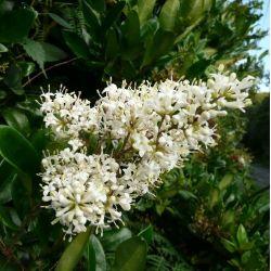 Troëne du Texas. Ligustrum japonicum texanum erectum
