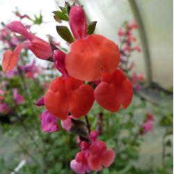 Sauge arbustive Royal Bumble . Salvia Royal Bumble