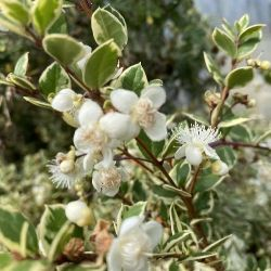 Myrte apiculata panaché - Luma apiculata Glanleam Gold - Myrte d'argentine