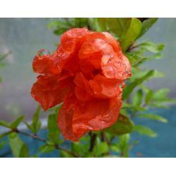 Punica granatum legrelliae