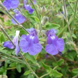Sauge arbustive bleu chamaedroides . Salvia chamaedroides