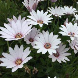 Marguerite du Cap blanche vivace - Osteospernum fruticosum blanc - Dimorphotheca blanc