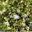 Jasmin étoilé rose persistant - Trachelospermum asiaticum roseum