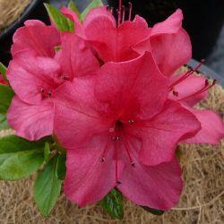 Azalée du japon Fête des mères - Azalea japonica Fête des mères