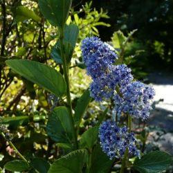 Ceanothus arboreus Trewiten blue