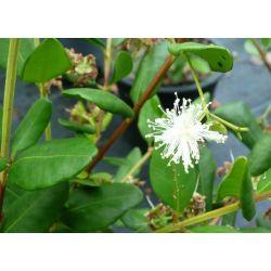 Temu divaricatum Heavent scent - Blepharocalyx cruckshanksii H S