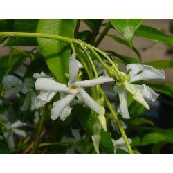 Jasmin étoilé - Trachelospernum jasminoides