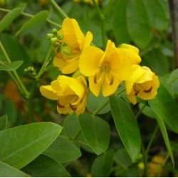 Cassia corymbosa - Senna C.
