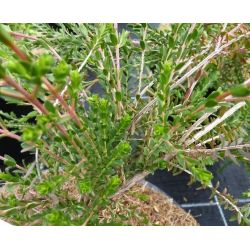 Tryptomène saxifolia