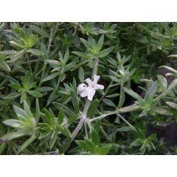 Westringia fructicosa