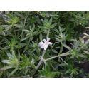 Camellia Black Lace (japonica)