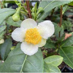 Théier - Camellia sinensis