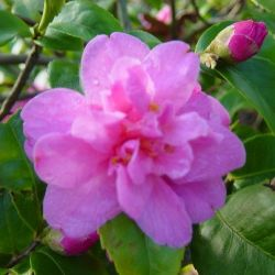 Camellia hybride Fragrant pink