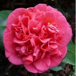 Camellia Bénodet, Gertrude Gekyl (japonica)
