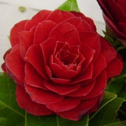 Camellia japonica Black Lace