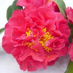 Camellia japonica Blood of China, Victor Emmanuel
