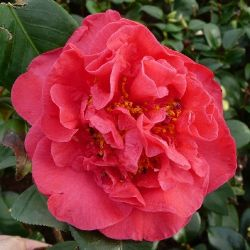 Camellia japonica Crimson Glory
