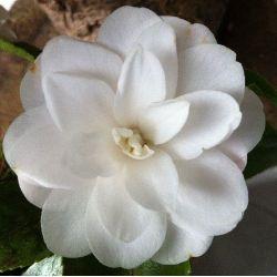 Camellia hybride Cinnamon Cindy