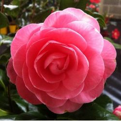 Camellia Nuccio's Cameo (japonica)