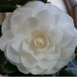 Camellia Nuccio's Gem (japonica)