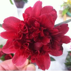 Camellia japonica Takanini
