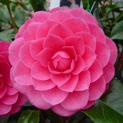 Camellia japonica Spring Formal